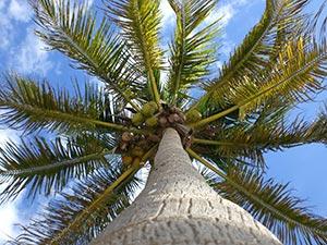 kokosolja nyttigt Nötter-i-palm