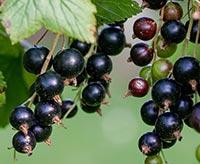 Svarta-vinbär